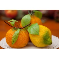 Foglie Limone pronte per frutta martorana
